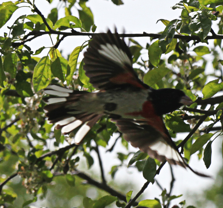 White and Black and Red:  Rose Breasted Grosbeak