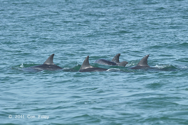 Indo-pacific Bottlenose Dophin @ Malacca Strait