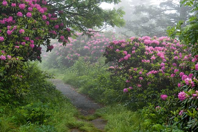 Catawba Rhododendron 1