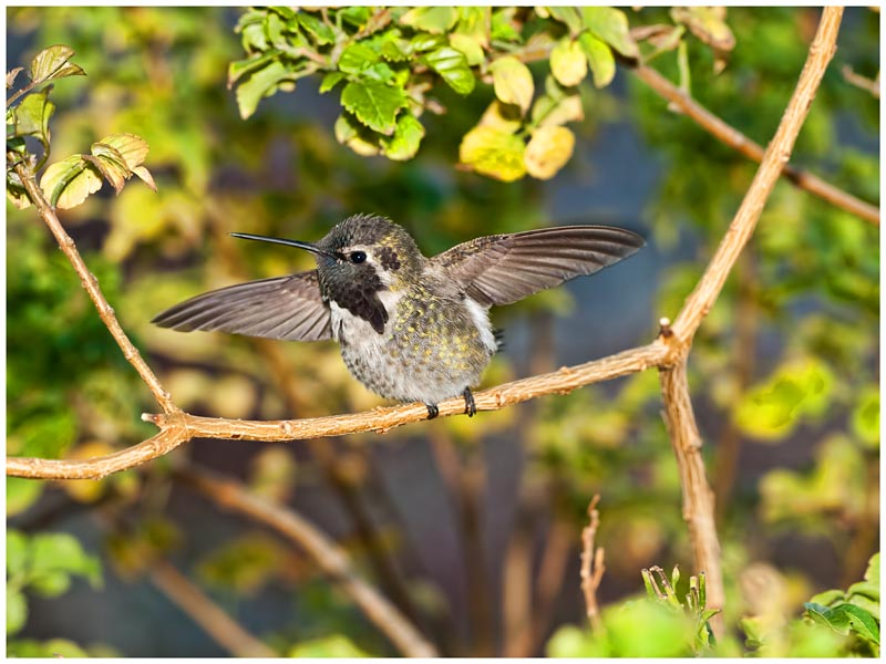 Annas (male fledgling) Hummingbird