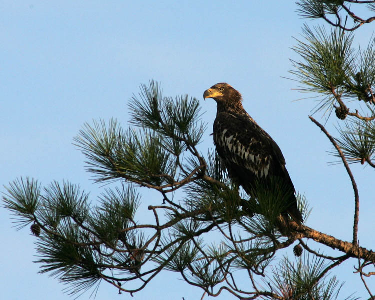 Juvenile Bald Eagle on Hilton Head