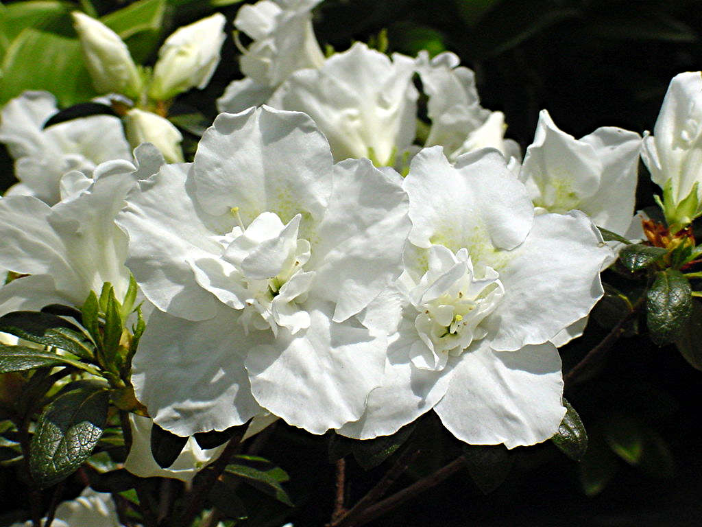 Seattle White
