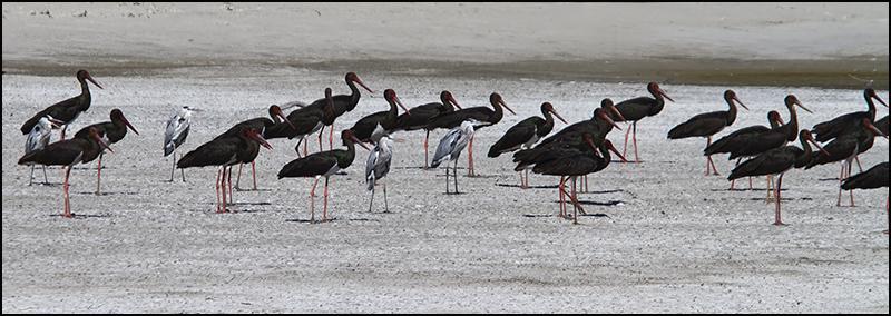 Black Storks and Grey Herons.jpg