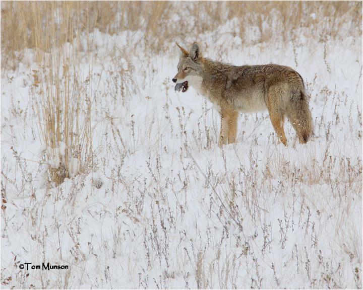 Coyote / Vole
