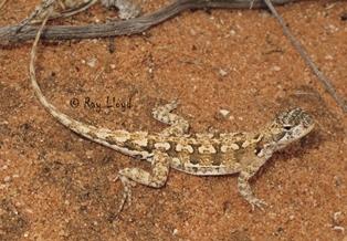 Ctenophorus butlerorum