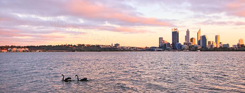 Black Swans on the Swan River at Sunrise, 3rd June 2013