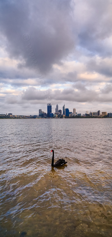 Black Swan on the Swan River at Sunrise, 5th November 2013