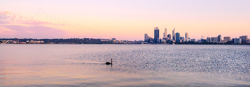 Black Swan on the Swan River at Sunrise, 12th November 2013