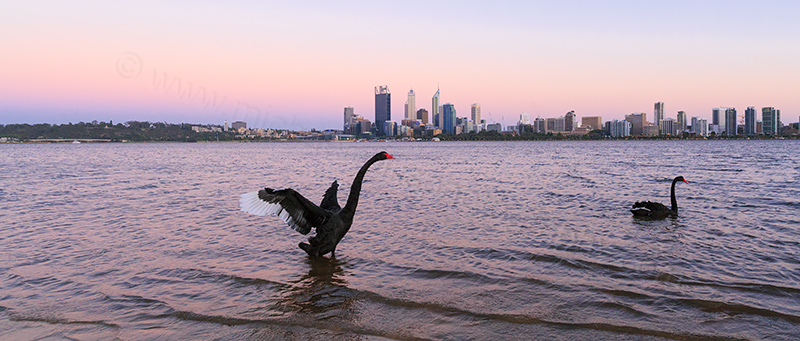 Black Swans on the Swan River at Sunrise, 15th November 2013