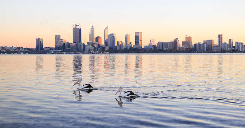 Pelicans on the Swan River at Sunrise, 5th June 2017