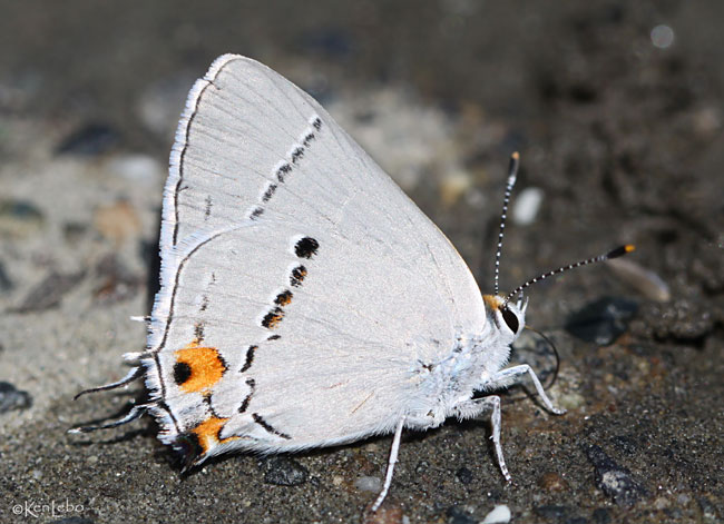 Gray Hairstreak western form