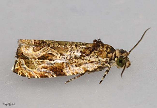 Raspberry Leafroller Moth Olethreutes permundana #2817