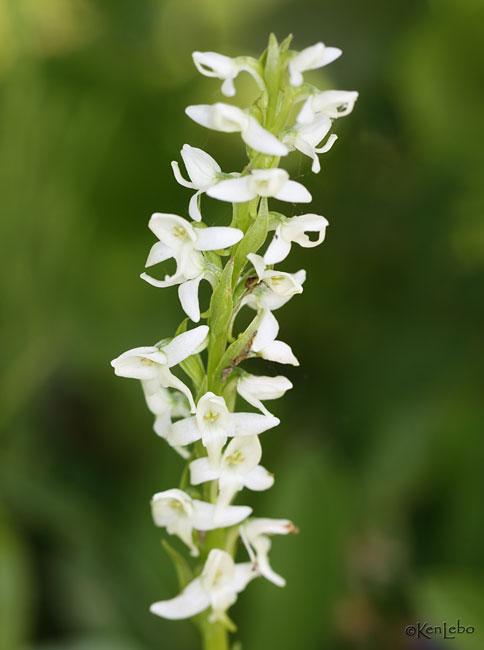 White Bog Orchid Habenaria dilatata