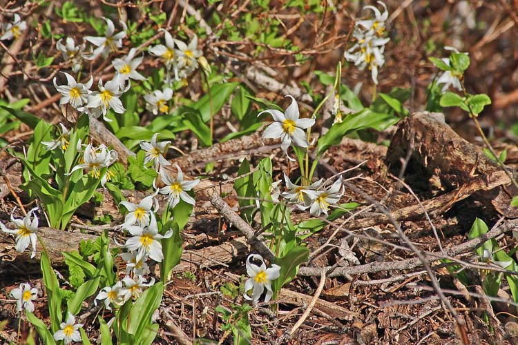 21 avalanche lilies