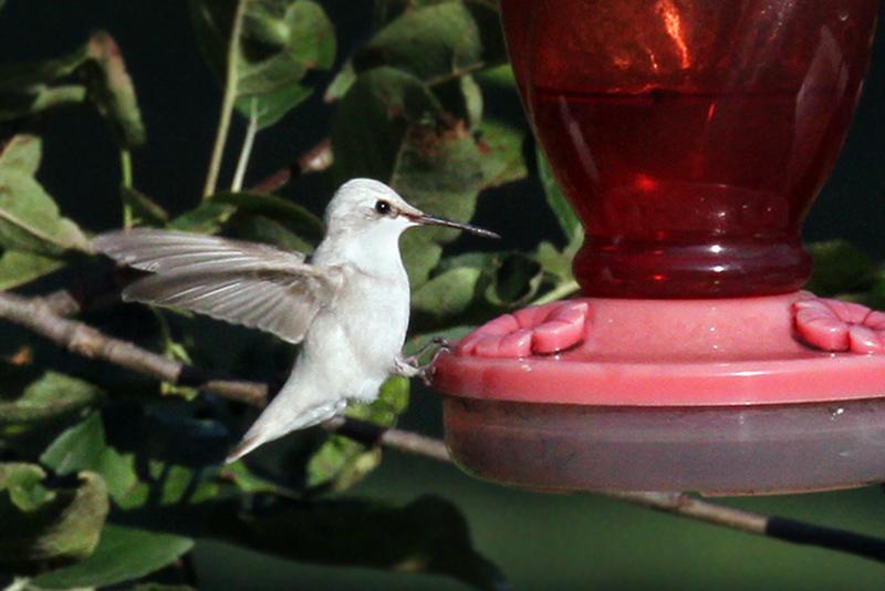 IMG_0041a Ruby-throated Hummingbird.jpg