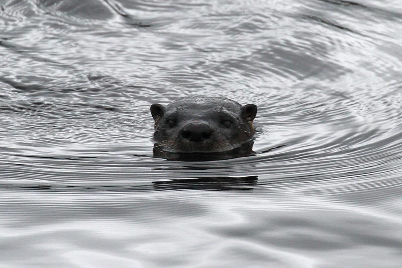 IMG_8277A River Otter.jpg