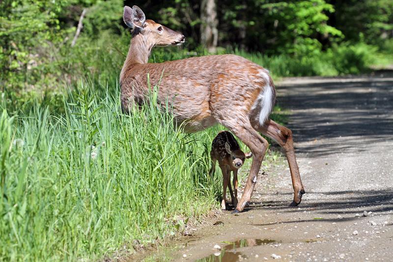 IMG_4867a Deer.jpg