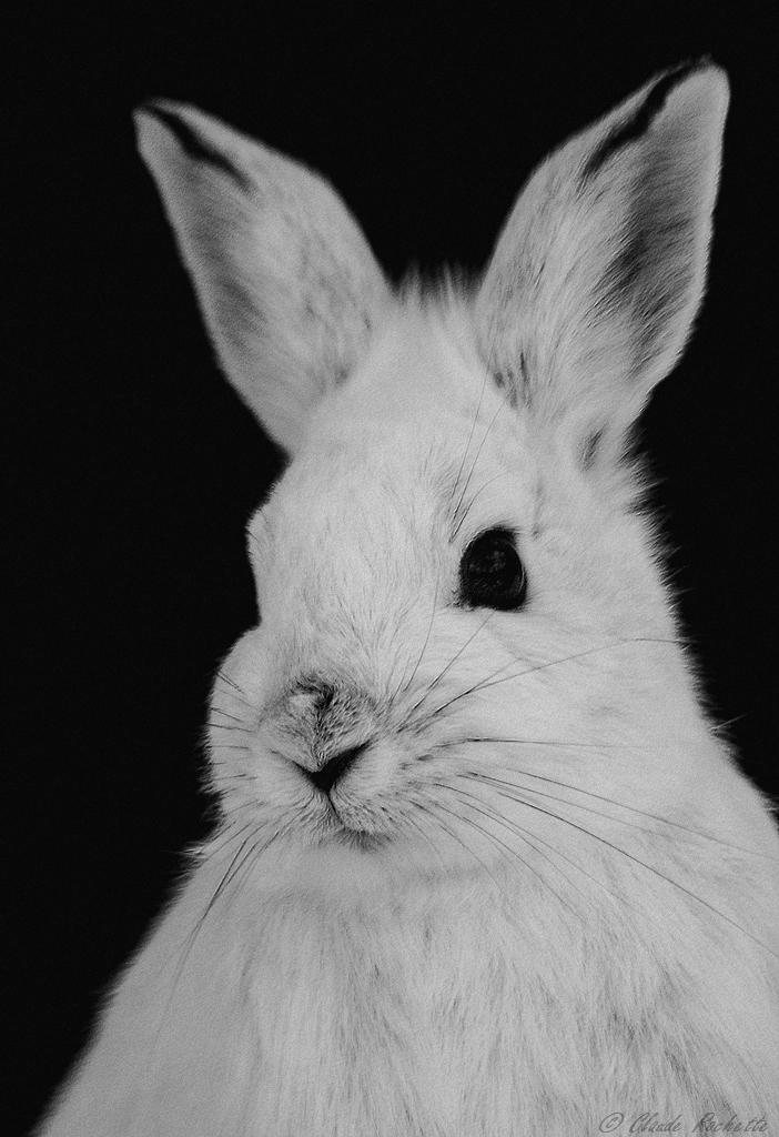 Portrait de lièvre en noir et blanc 167230299.fr1chL8o.LivredAmrique_MG_9193