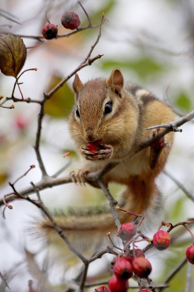 Tamias mangeant des fruits de senellier ( aubépine ). 168266064.bbZYWbZ4.Tamiasray_MG_3952