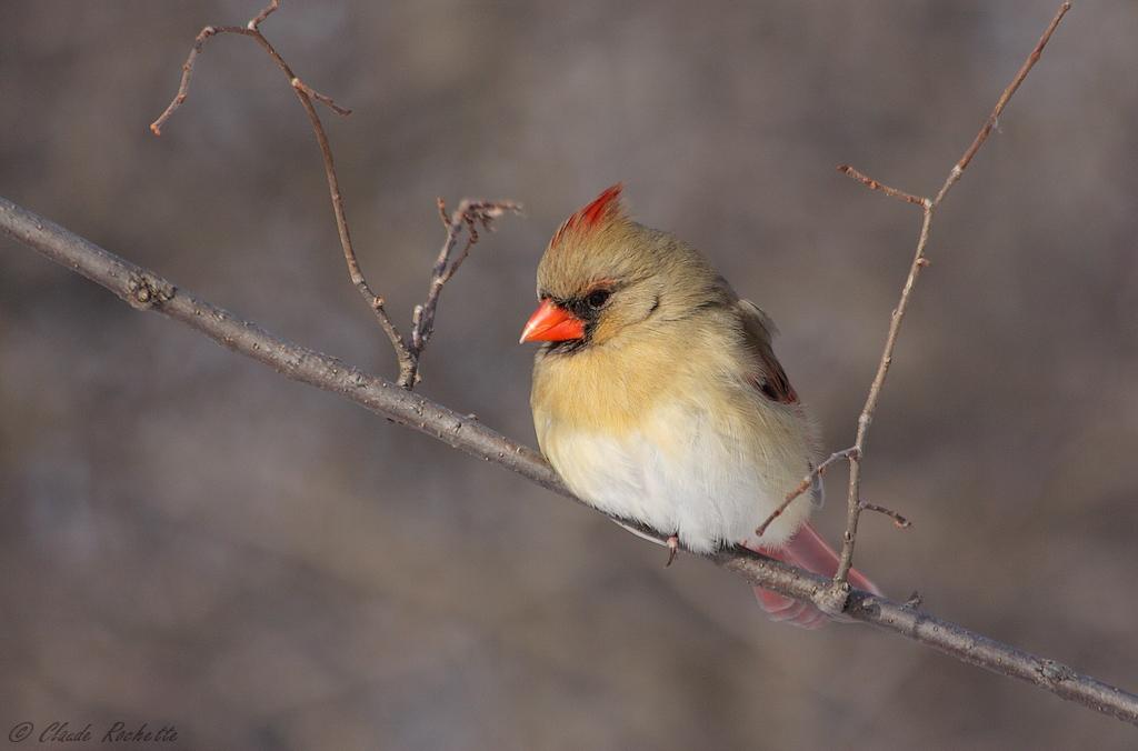 Cardinal femelle 168510544.chpUnNWp.Cardinalrouge_MG_0171