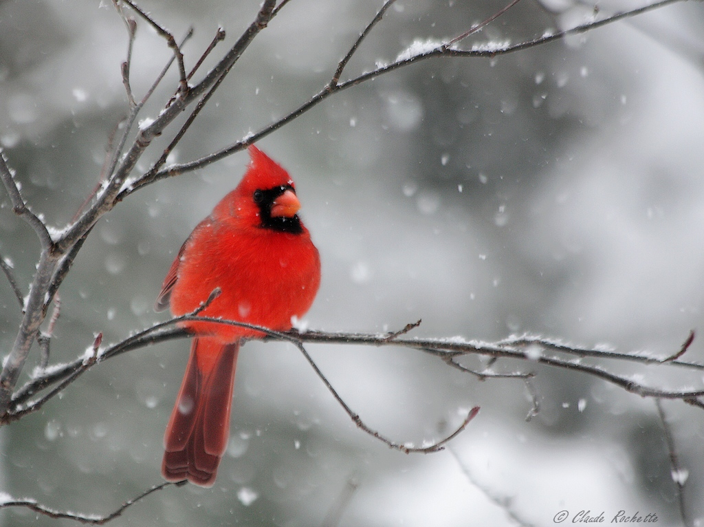 Cardinal mâle 168517437.JpfEHdDn.Cardinalrouge_MG_5106