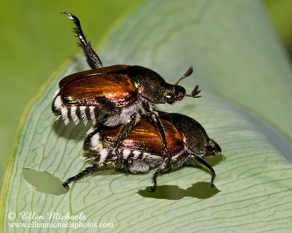 Japanese Beetle (mating)