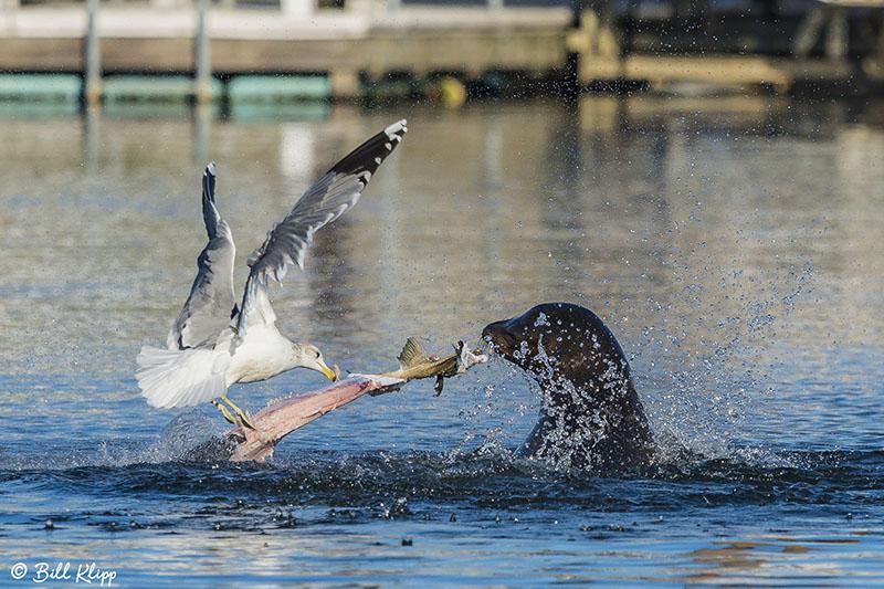 Sea Lion, Beaver Bay   3