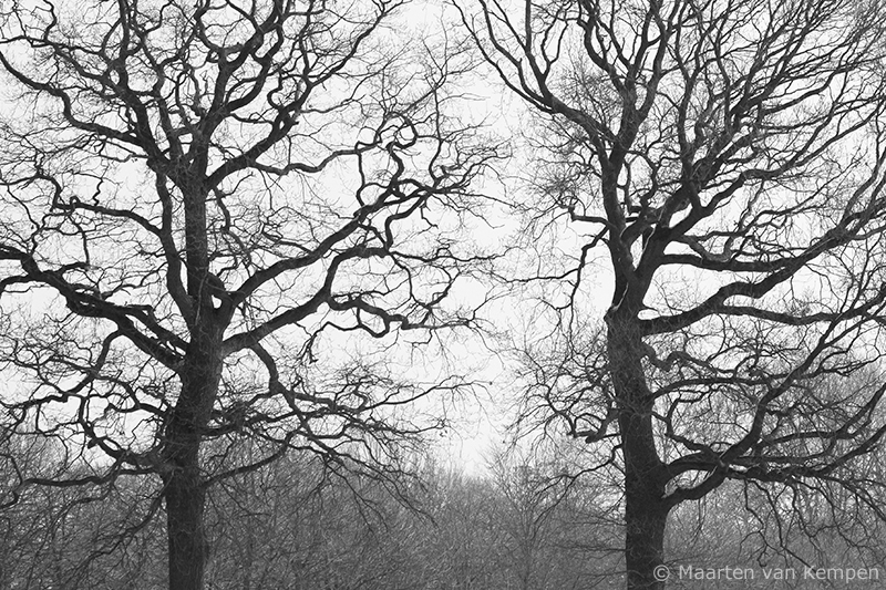 Common oaks