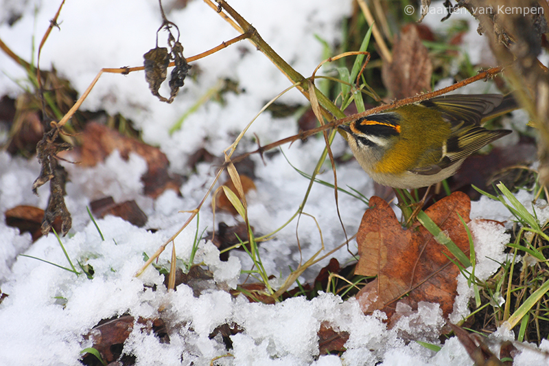 Common firecrest <BR>(Regulus ignicapilla)