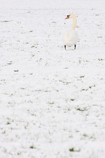 Mute swan <BR>(Cygnus olor)
