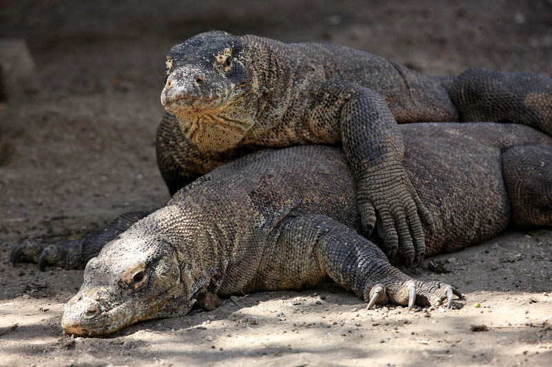 Komodo Dragons, Rinca Island, Indonesia