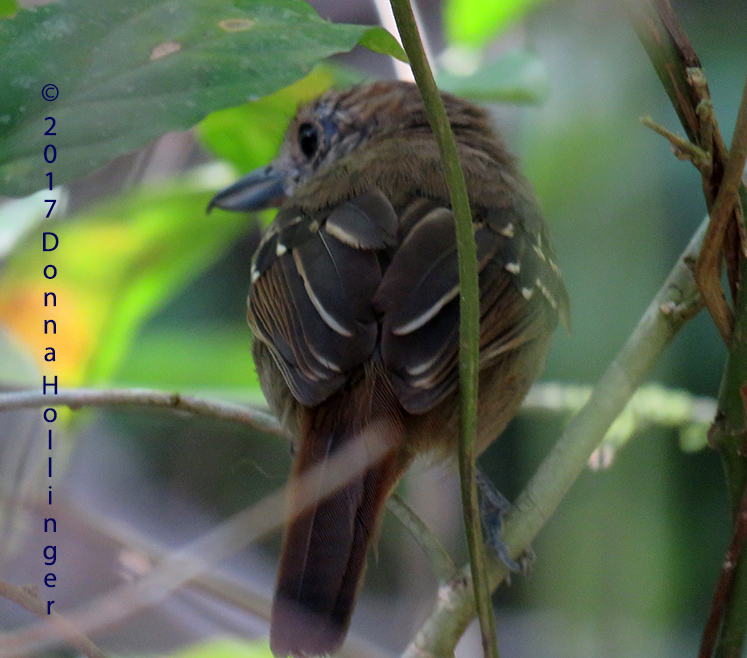 Spotted Antbird Female