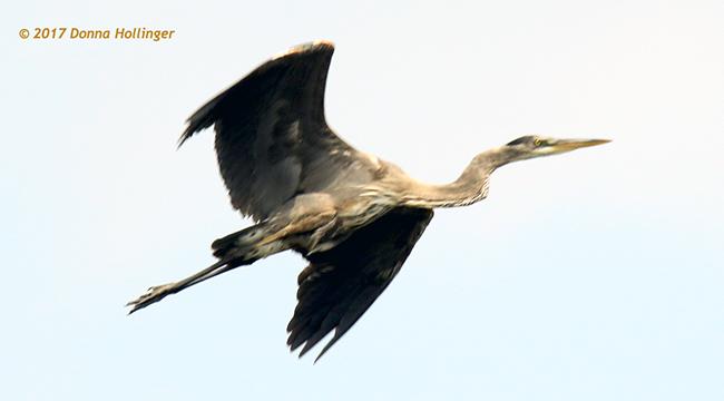 Immature Heron Flying