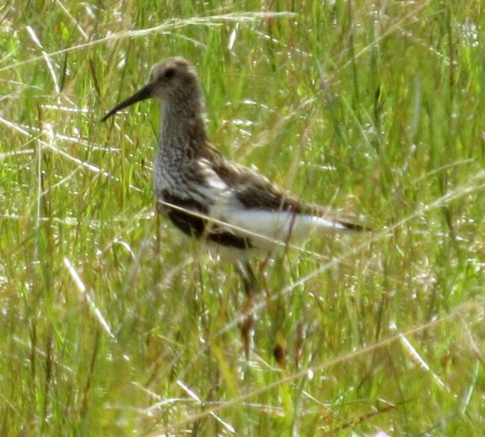 Dunlin nesting in a field