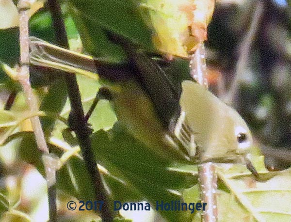 Young Kinglet