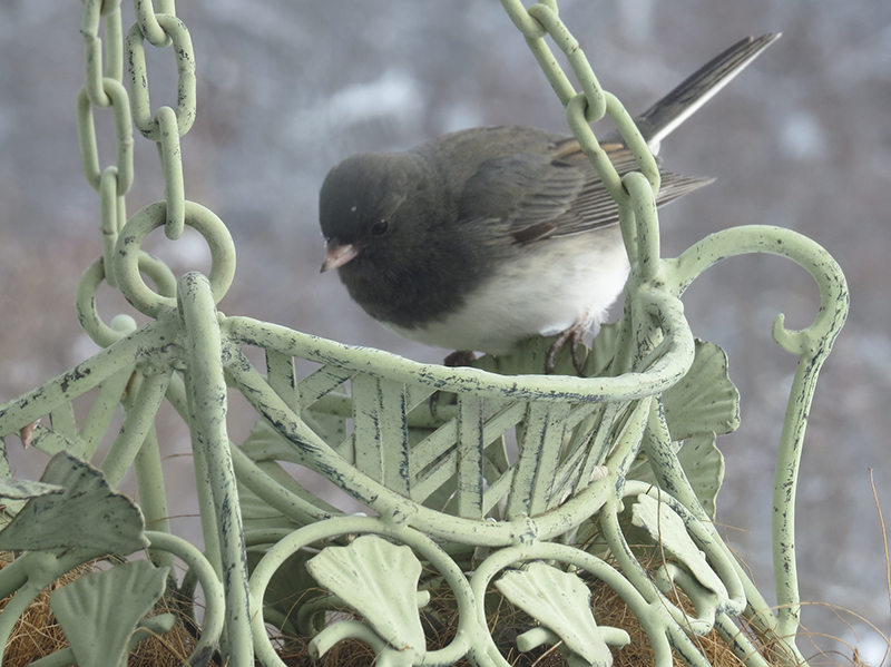Junco on the deck feeder