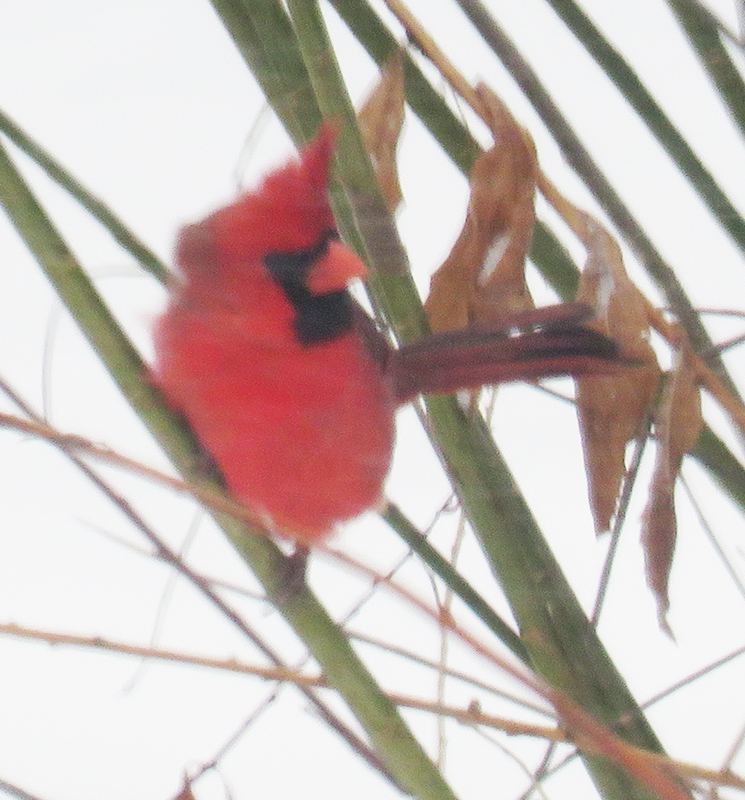 Cardinals are so unusual up here on our hill!