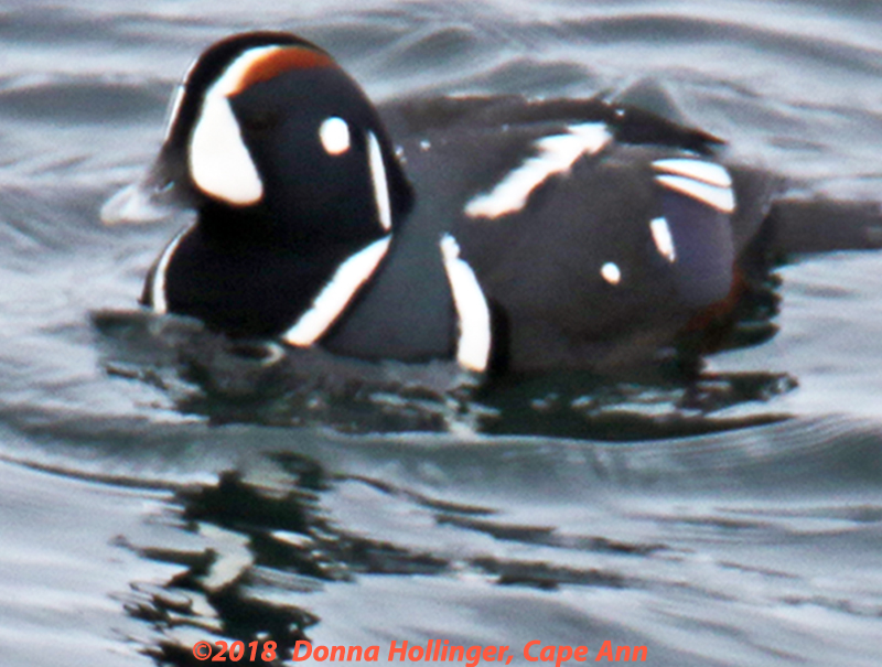 Male Harlequin Duck  Swimming on Cape Ann yesterday morning