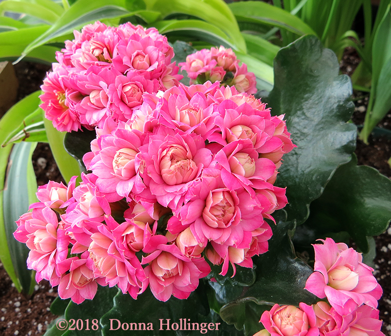Frilly Kalanchoe Happy Valentines Day!