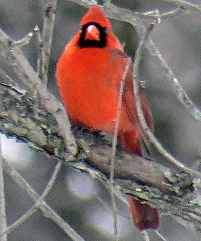 Campbell Flats Cardinal