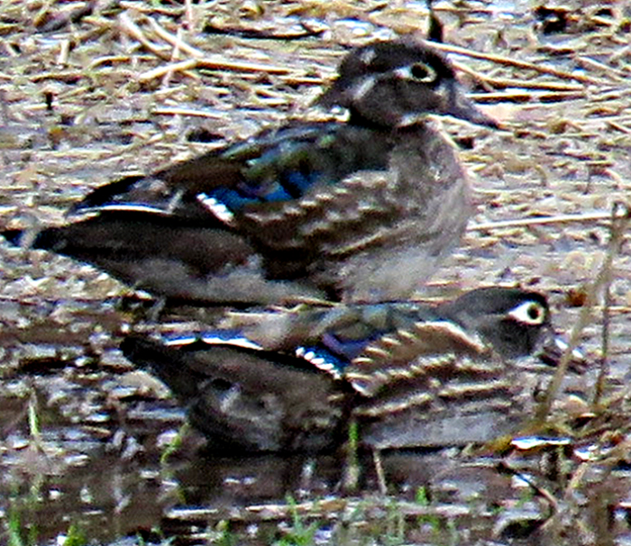 Two female Woodducks