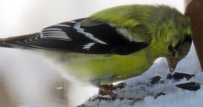 Evolving Male Goldfinch Feeding