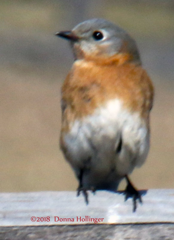 Female Bluebird Near Nesting Box