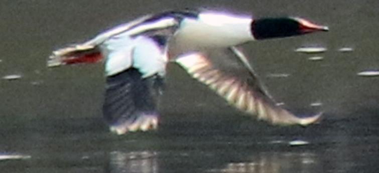 Male Common Merganser Flying