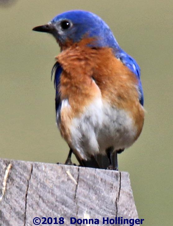 Male Bluebird near a Nesting Box