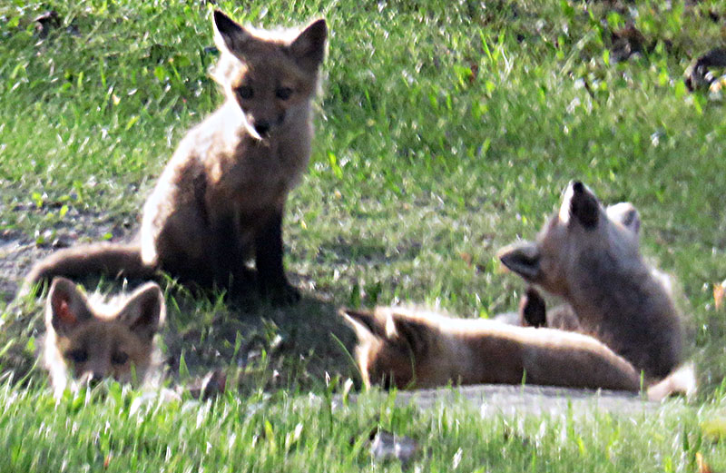 Five Fox Kits, semi hidden in a culvert