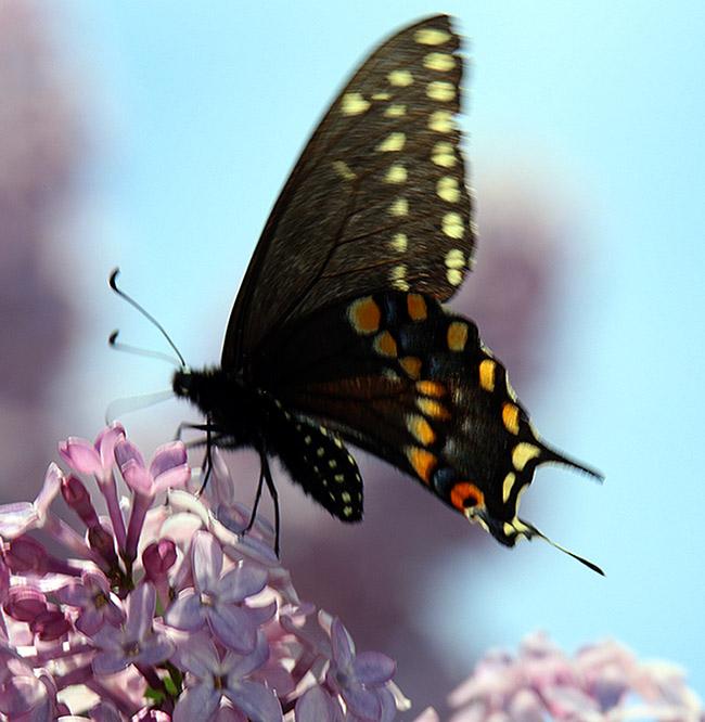 Fluttery Papillio on Lilac
