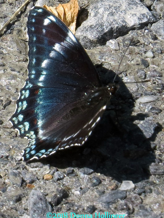 Green and Black Admiral????