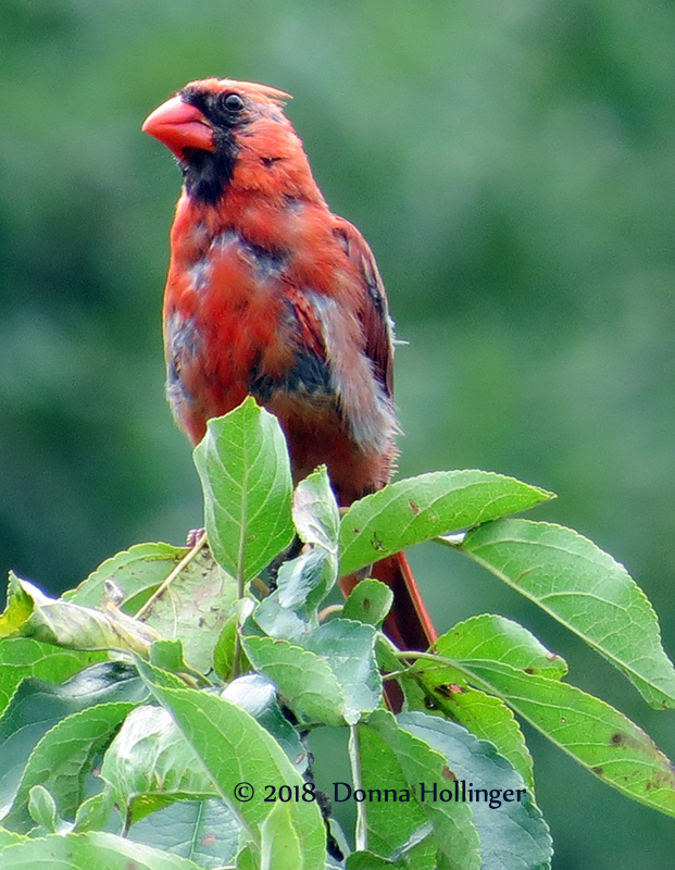 Cardinal is Molting!