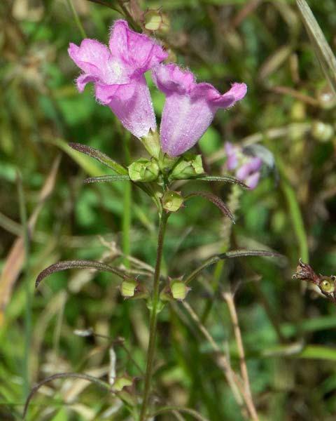 Purple False Foxglove  aka Purple Gerardia